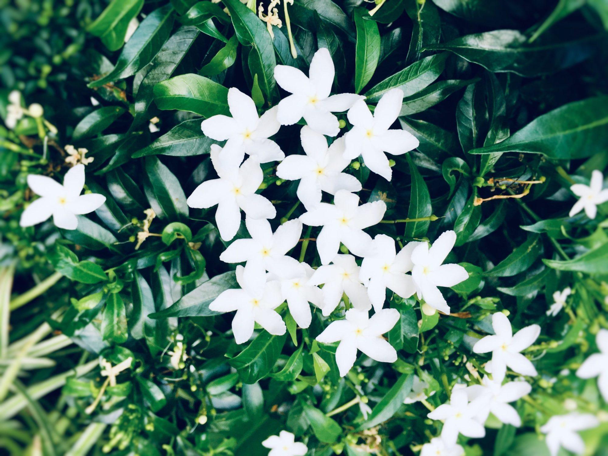 白い5枚花弁の花