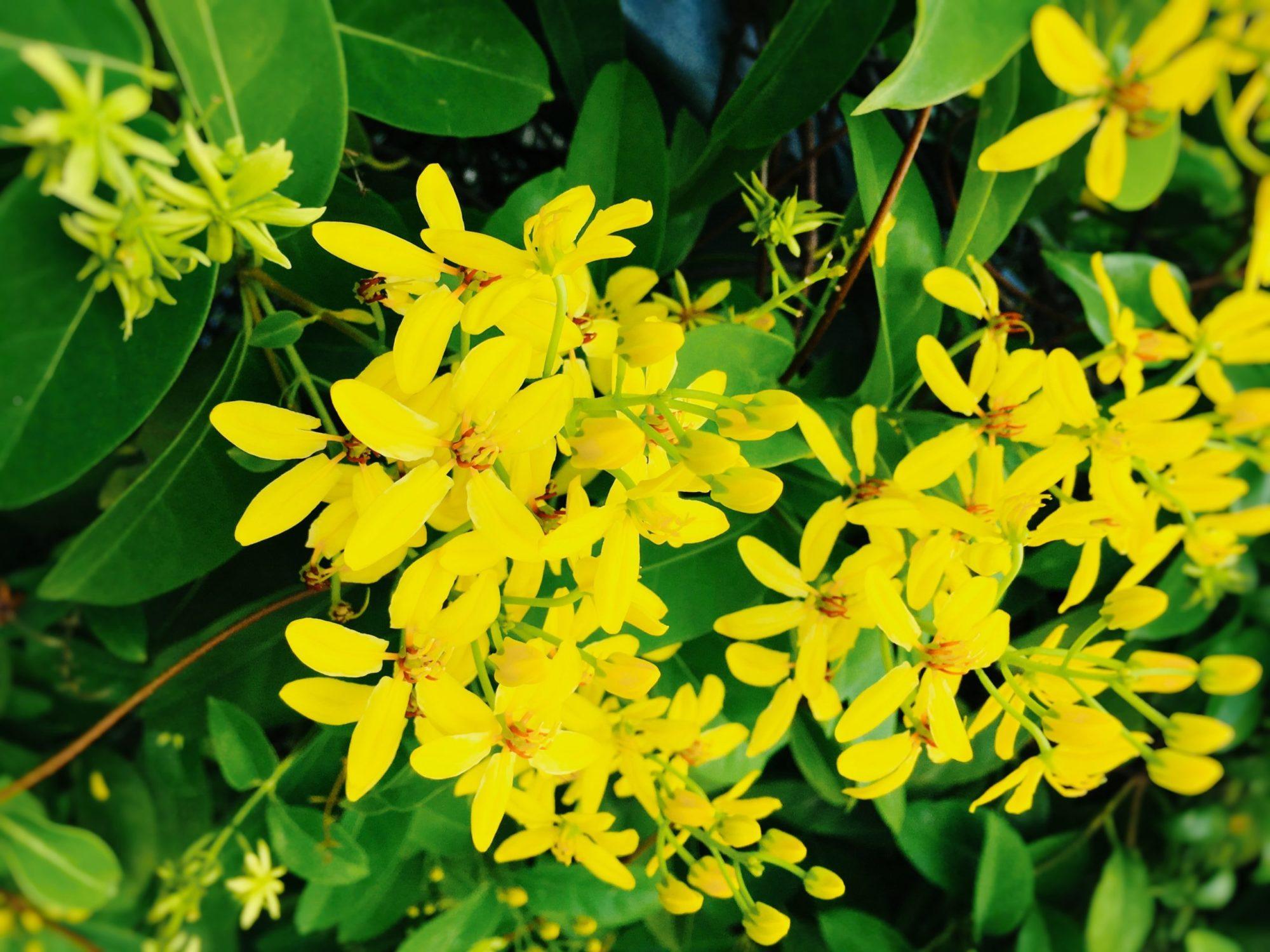 シンガポール庭の黄色い花