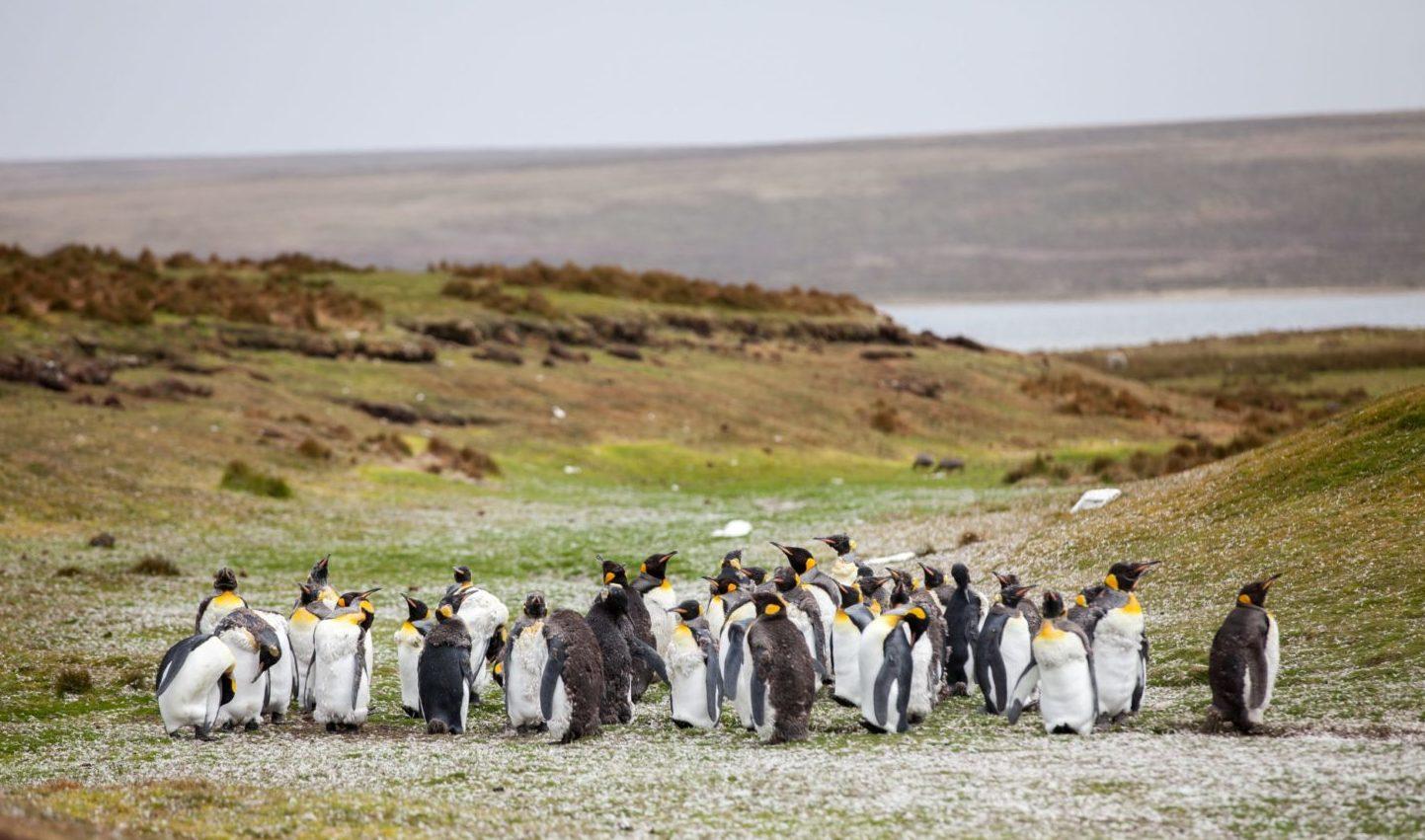 若いペンギンの群れ
